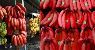 Việc đồn thổi giá bán chuối đỏ cao ngất chủ yếu là để bán cây giống giá cao