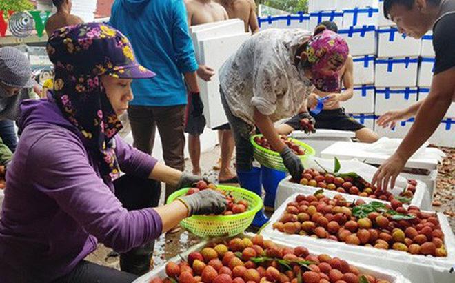 Vải thiều Bắc Giang có thể đạt tới doanh thu kỷ lục.