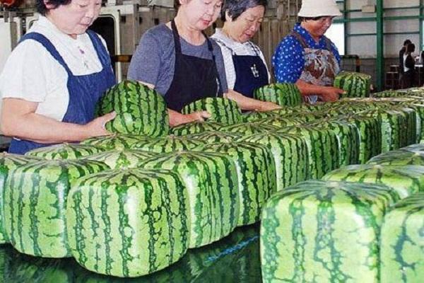 Loại dưa hấu vuông Nhật đang được bán ở Hà Nội với 4,5 triệu đồng/quả