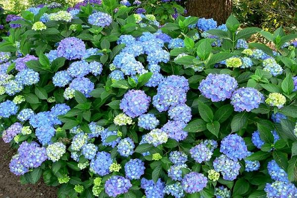 Tại sao lại có tên là vườn hoa cẩm tú cầu?