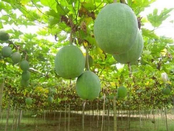 trồng dưa kiếm tiền triệu