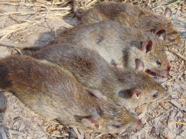 Nằm mơ thấy chuột đồng nên chơi xổ số con gì may mắn?