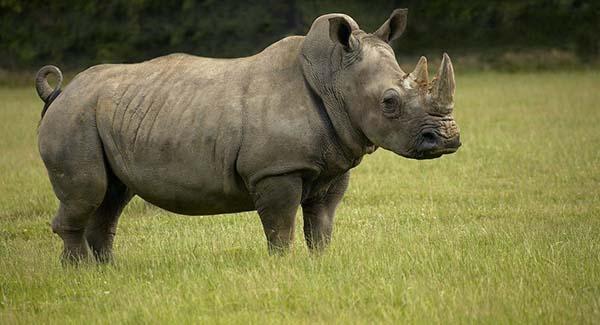 Nằm mơ thấy con tê giác là điềm báo gì