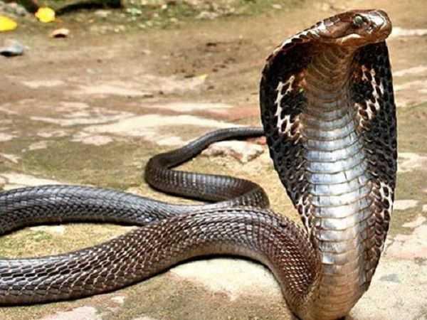 Mơ thấy con rắn hổ mang điềm báo điều gì