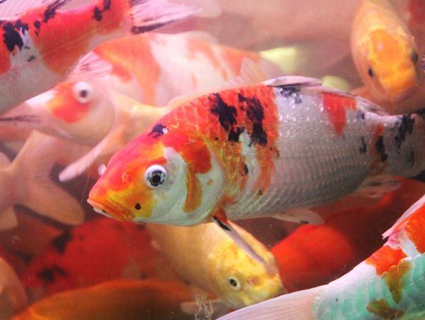 Mơ thấy cá chép là điềm báo gì - Cá chép là số mấy?