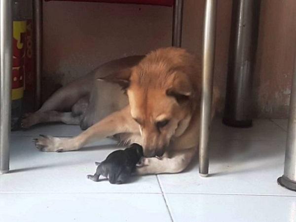 Chó đẻ 1 con là điềm gì?