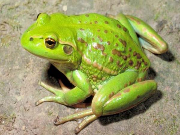Nằm mơ thấy ếch - Chiêm bao thấy ếch đánh con gì ăn chắc