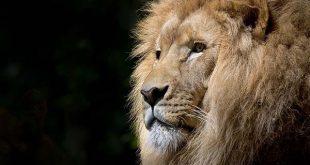 Nằm mơ thấy sư tử đánh con gì, chiêm bao thấy sư tử có điềm báo gì