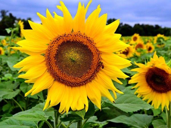 Mơ thấy hoa hướng dương điềm tốt hay xấu?