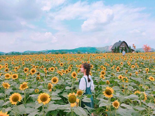 Mơ thấy cánh đồng hoa hướng dương điềm tốt hay xấu?