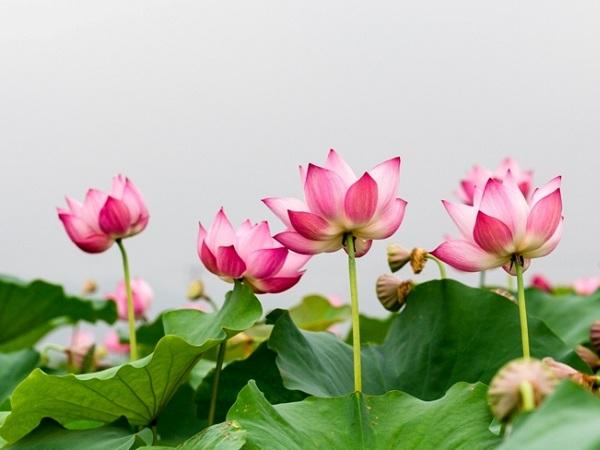 Mơ thấy hoa sen điềm báo tốt hay xấu?