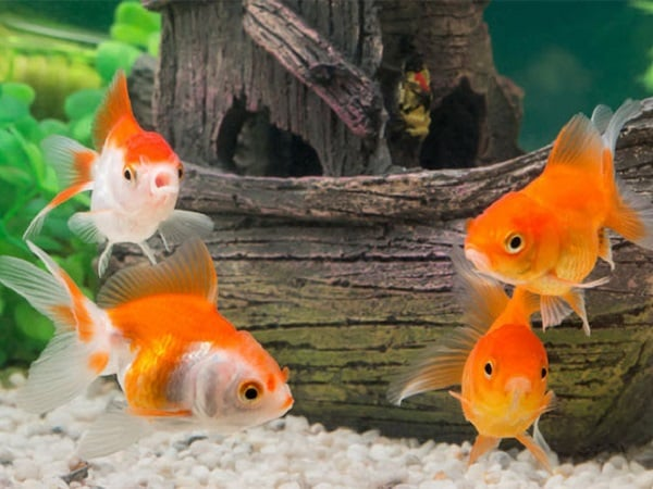 Mơ thấy cá vàng điềm báo tốt hay xấu?