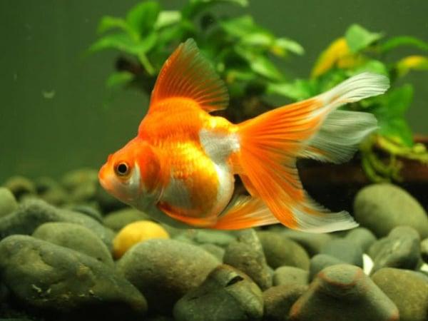 Mơ thấy cá vàng đánh con gì chính xác?