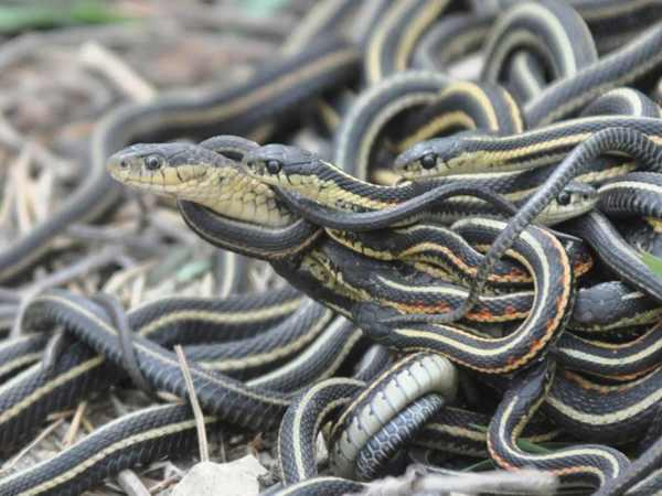 Nằm mơ thấy rắn vào nhà có điềm báo gì, đánh con gì ăn chắc