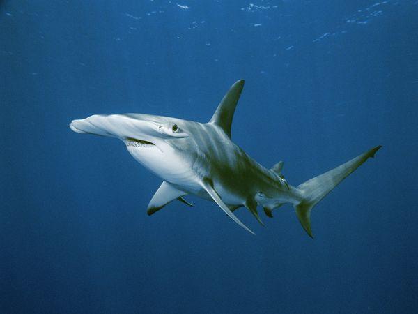 Mơ thấy cá mập điềm báo gì?